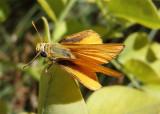 Copaeodes aurantiaca; Orange Skipperling