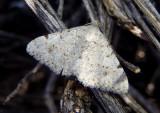 6383 - Digrammia pervolata; Geometrid Moth species