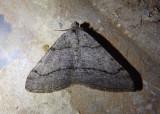 6364 - Digrammia setonana; Geometrid Moth species