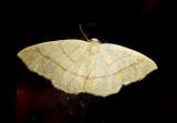 6888-6896 - Lambdina Geometrid Moths species