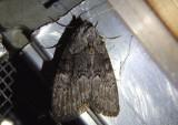 8987 - Meganola varia; Nolid Moth species