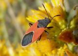 Melanopleurus belfragei; Seed Bug species