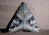 8600 - Melipotis indomita; Indomitable Melipotis Moth; female