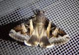 8600 - Melipotis indomita; Indomitable Melipotis Moth; male
