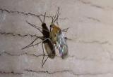 Mycetophilidae Fungus Gnats species