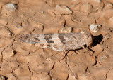 Trimerotropis pallidipennis; Pallid-winged Grasshopper