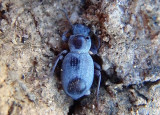 Triorophus Darkling Beetle species