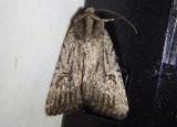 9655.1 - Caradrina beta; Dart Moth species