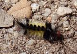 8266 - Carales arizonensis; Tiger Moth species caterpillar