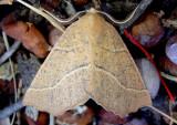 6873 - Caripeta ocellaria; Geometrid Moth species; female