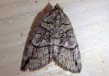7281 - Carptima hydriomenata; Geometrid Moth species