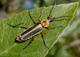Chauliognathus omissus; Soldier Beetle species