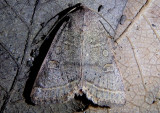 10542 - Homorthodes rectiflava; Dart Moth species