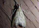 5125 - Hydropionea fenestralis; Crambid Snout Moth species