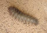8149 - Hypercompe suffusa; Tiger Moth species caterpillar