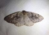 6905 - Nepytia swetti; Geometrid Moth species