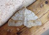 6296 - Speranza plumosata; Geometrid Moth species