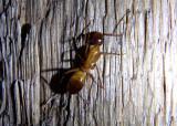 Camponotus ocreatus; Carpenter Ant species