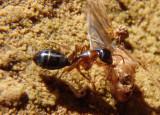 Camponotus sansabeanus; Carpenter Ant species