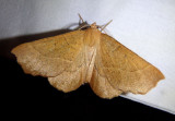 6873 - Caripeta ocellaria; Geometrid Moth species