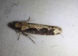 0312 - Daviscardia coloradella; Clothes Moth species