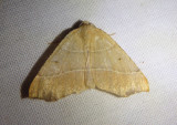 6882 - Destutia oblentaria; Geometrid Moth species