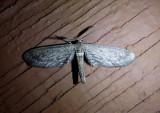 6488-6518 - Glaucina Geometrid Moth species