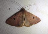 8472 - Hemeroplanis historialis; Noctuid Moth species