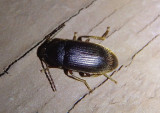 Hymenorus Comb-clawed Beetle species