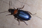 Lebia atriceps; Colorful Foliage Ground Beetle species
