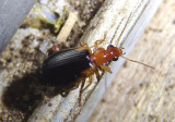 Lebia scapula; Colorful Foliage Ground Beetle species