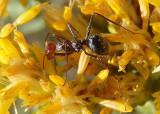 Myrmecocystus Honeypot Ant species