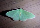 7036 - Nemoria zelotes; Emerald species