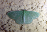 7059 - Synchlora frondaria; Southern Emerald Moth