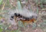 866 - Arctia caja; Great Tiger Moth caterpillar