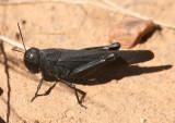 Arphia pseudonietana; Red-winged Grasshopper