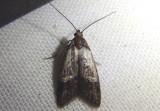 2318 - Bondia comonana; Fruitworm Moth species