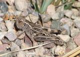 Boopedon nubilum; Ebony Grasshopper; female