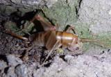 Ceuthophilus paucispinosus; Huachuca Camel Cricket; female