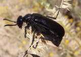 Linsleya suavissima; Blister Beetle species