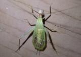 Oecanthus californicus; Western Tree Cricket; male