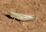 Opeia obscura; Obscure Grasshopper; female