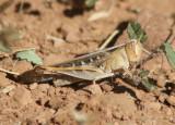 Rhammatocerus viatorius; Traveller Grasshopper
