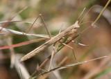 Yersiniops sophronicum; Yersin's Ground Mantis