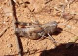 Ageneotettix deorum; White-whiskered Grasshopper; female