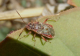 Arhyssus Scentless Plant Bug species