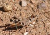Aulocara femoratum; White-crossed Grasshopper; male