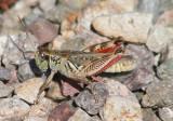 Melanoplus gladstoni; Gladston's Spur-throat Grasshopper; male