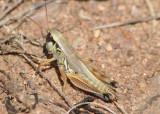 Phoetaliotes nebrascensis; Large-headed Grasshopper; female