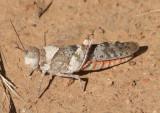 Trimerotropis melanoptera; Black-winged Grasshopper; female